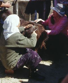 Combing goats during project work in Kazakhstan